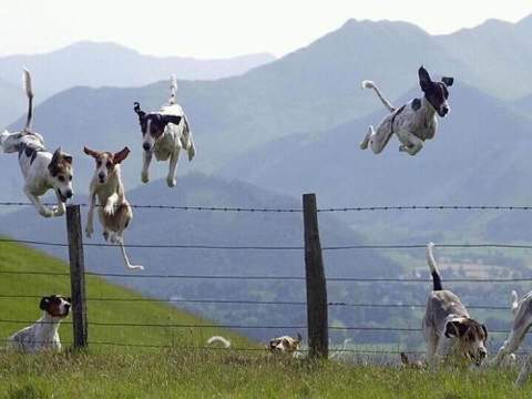 leaping dogs