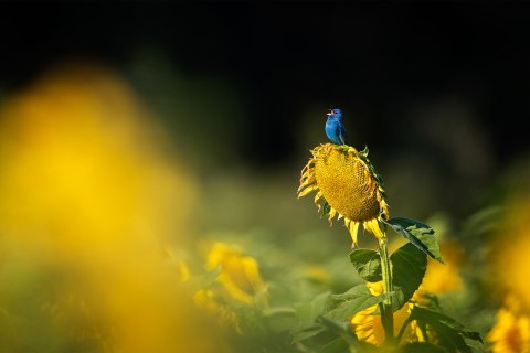 blue bird on yellow flower